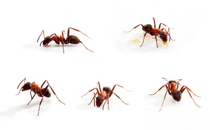 Karıncalar Neden Evlerimize Girer?
